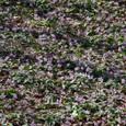 森の妖精たち~カタクリの絨毯~