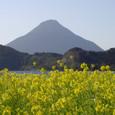 菜の花と開聞岳