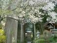 Sakuratochusenji